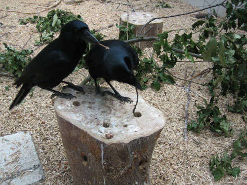 new-caledonian-crows1