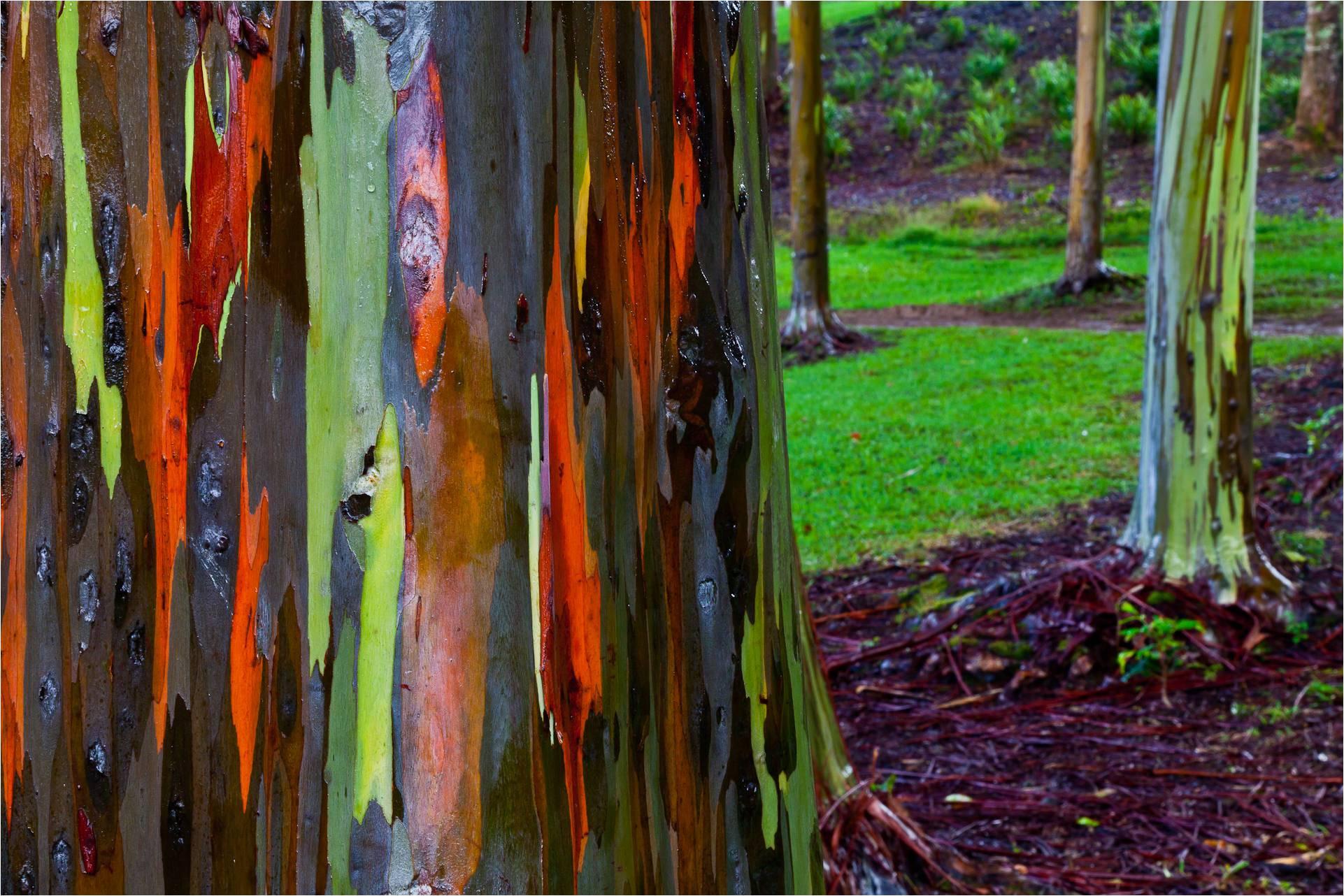rainbow-eucalyptus-2