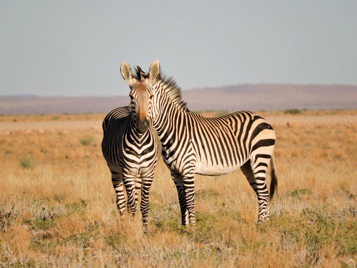 необычный портрет двух зебр