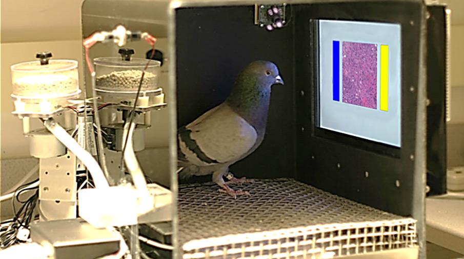 опыты над голубями по определению опухоли