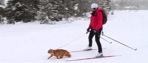 Ездовые коты – не перебор, а средство передвижения в Норвегии