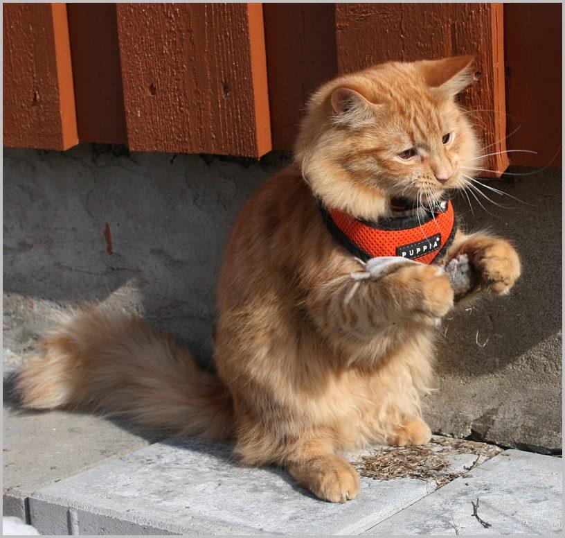 ездовой кот Еспер