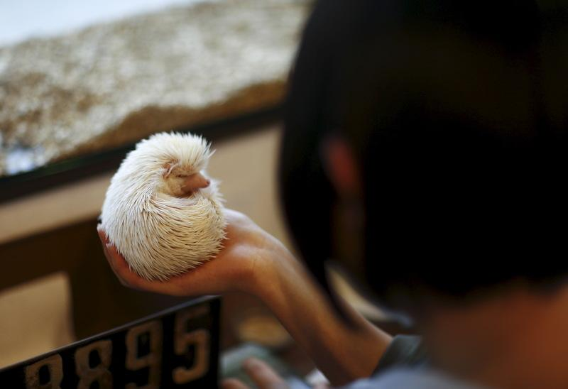 A woman holds a hedgehog at the Harry hedgehog cafe in Tokyo, Japan, April 5, 2016. REUTERS/Thomas Peter