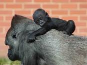 Танцы гориллы покорили всех