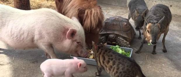 Японские коты самые смелые