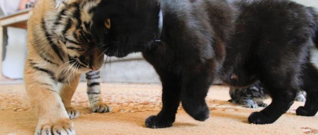 Курьезная атака кошки на тигра