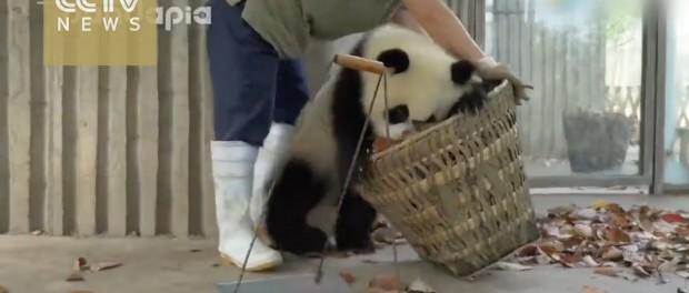 Позитивное видео игр панды с корзиной