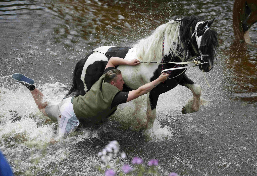 A traveller falls off his horse as he washes it in the river Eden at Appleby in Westmorland