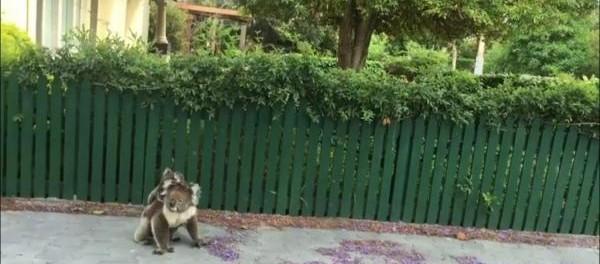 Австралийские коалы спокойно гуляют по улицам