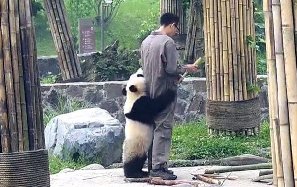 игривая панда не отпускает смотрителя