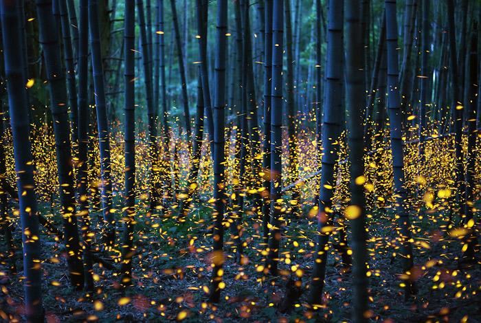 Японский лес на острове Сикоку заполонили светлячки
