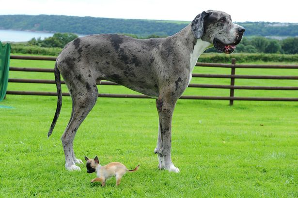 PAY-Major-the-Great-Dane