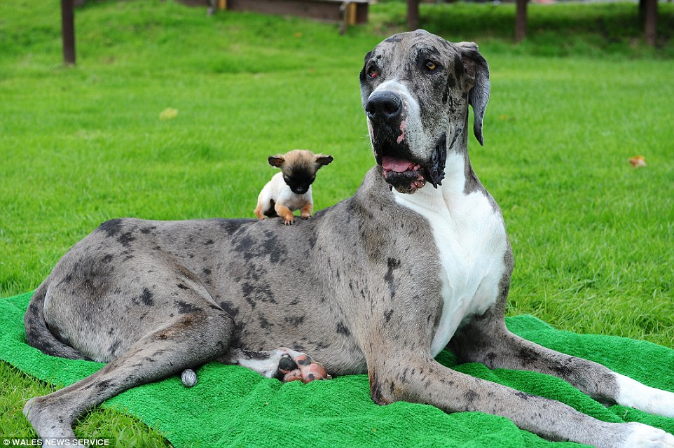 PAY-Major-the-Great-Dane3