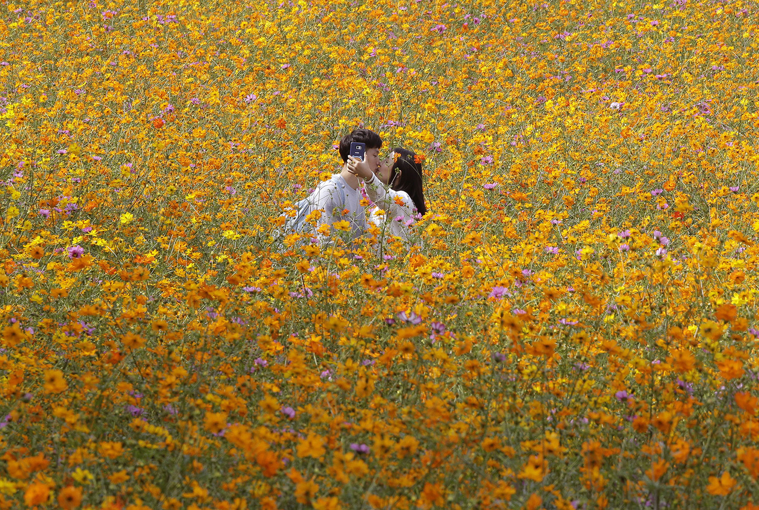 A couple kisses while they take pictures in the middle of a cosmos field at Olympic Park in Seoul, South Korea, Wednesday, Sept. 21, 2016. (AP Photo/Ahn Young-joon)