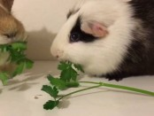 parsley-eating-competition