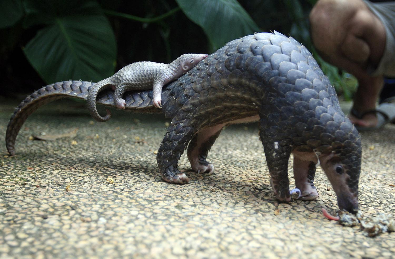Первый выход в свет молодого броненосца в зоопарке Бали