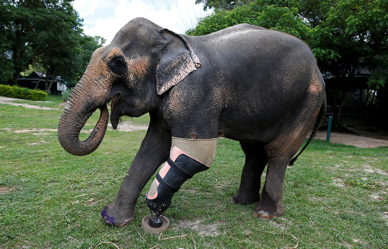 Тайскому слону Мотоле поставили протез вместо оторвавшийся на мине конечности