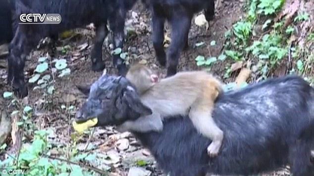 обезьяна верхом на козах