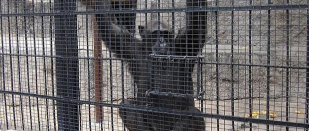 Аргентинская фемида выпустила обезьяну из зоопарка