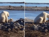 polar-bear-food-hudson-bay2