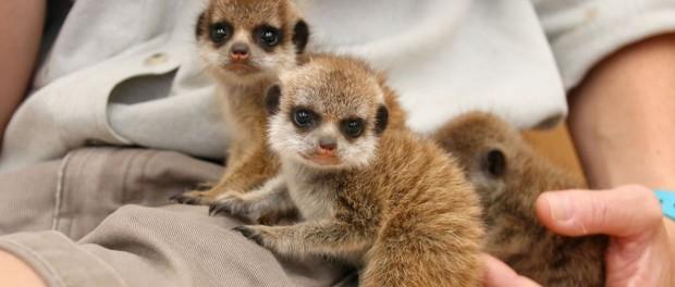 Сиднейский зоопарк порадовал детенышами сурикатов