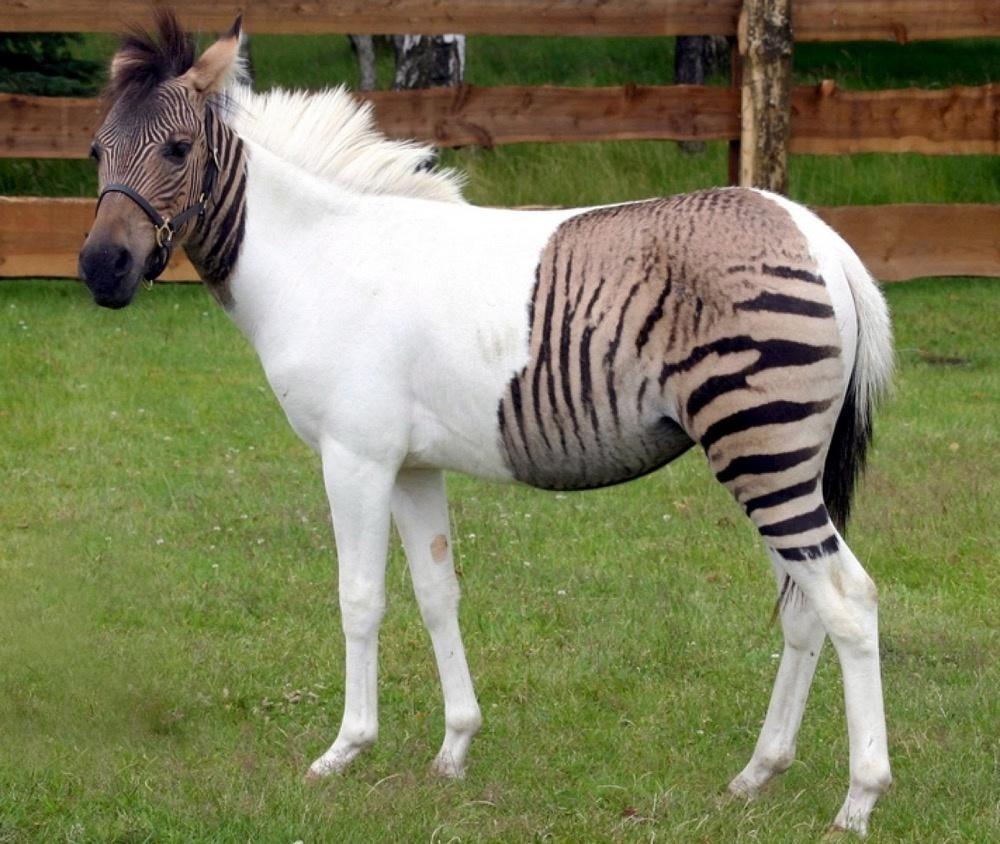 Позитивная зебра-пони - белая полоса в ее жизни явно продолжительная