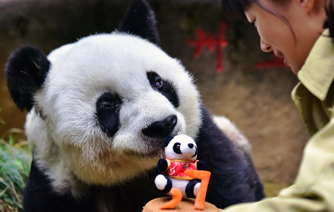 Самая пожилая панда Баси отпраздновала 37-й год