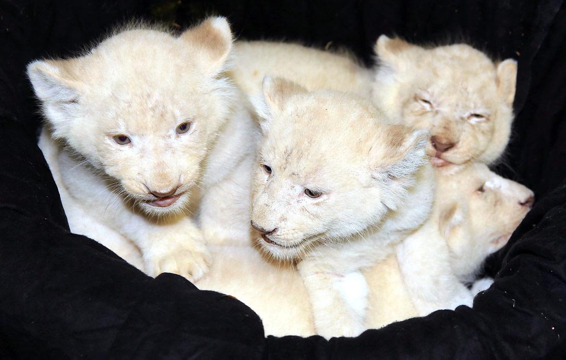 Магдебурский зоопарк презентовал новорожденных белых львов