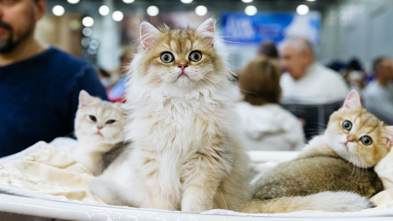 1000 котов съехались в Москву на выставку Кетсбург