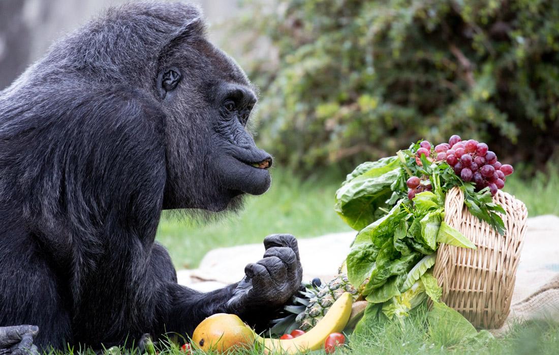 День рожденья - грустный праздник. Старейшая горилла на планете отпраздновала свое 60-летие