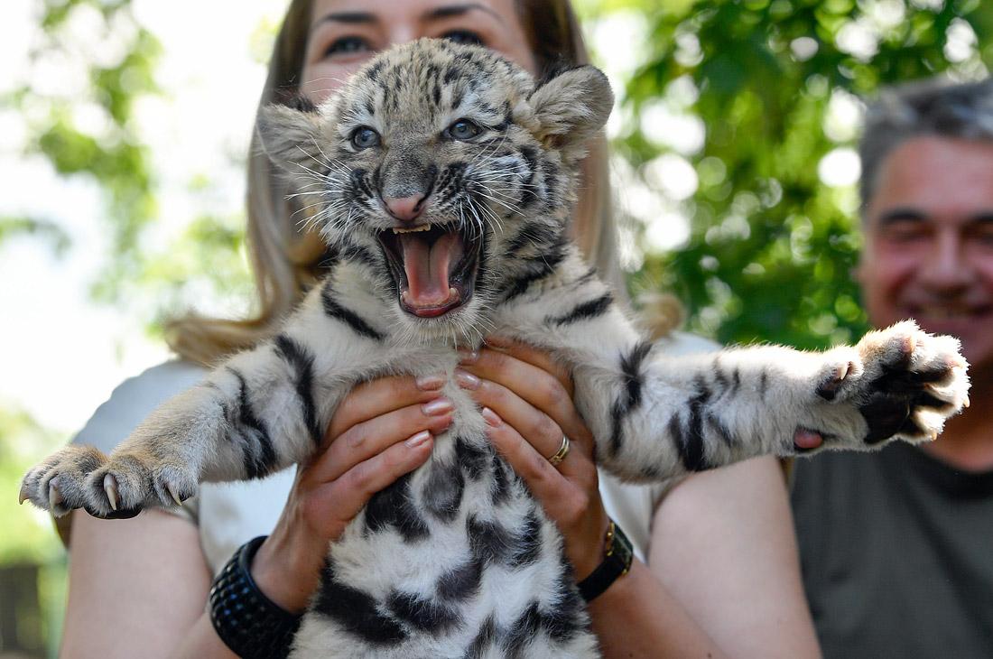 Молодое пополнение амурского тигренка в венгерском зоопарке