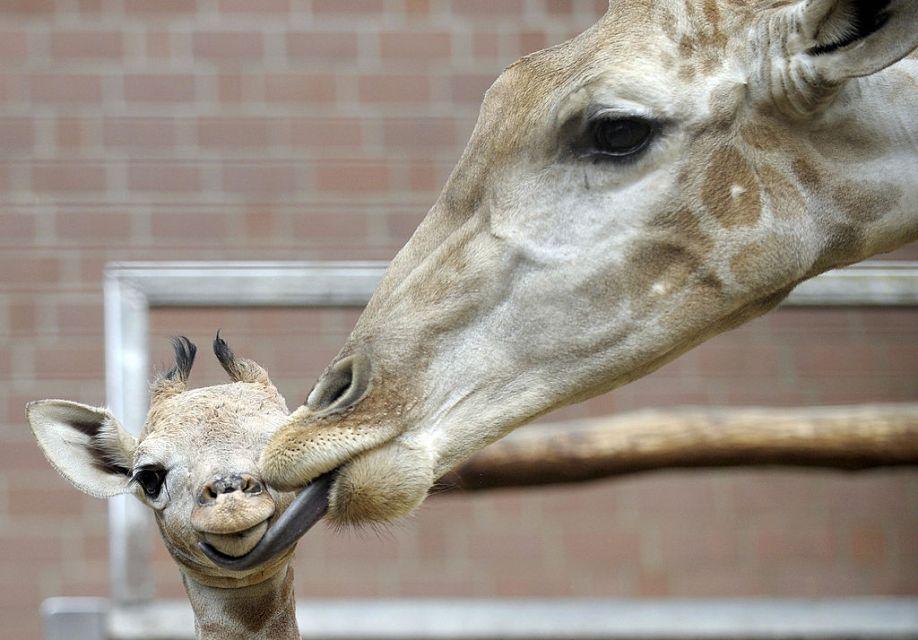 День жирафов прошел успешно!