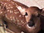 dog rescuing baby deer2