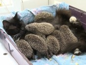 eight_baby_hedgehogs1