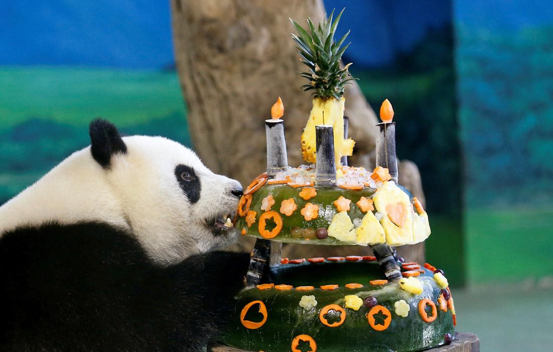 Гигантской панде Юаньцзай исполнилось 4 года