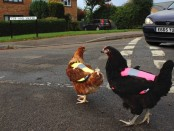 Chickens cross the road2