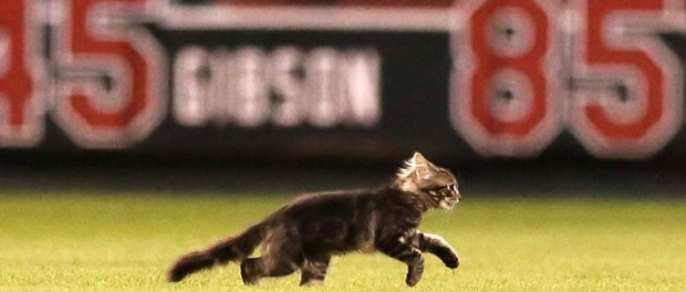 Котенок курьезно помог победить «Сент-Луис Кардиналс»