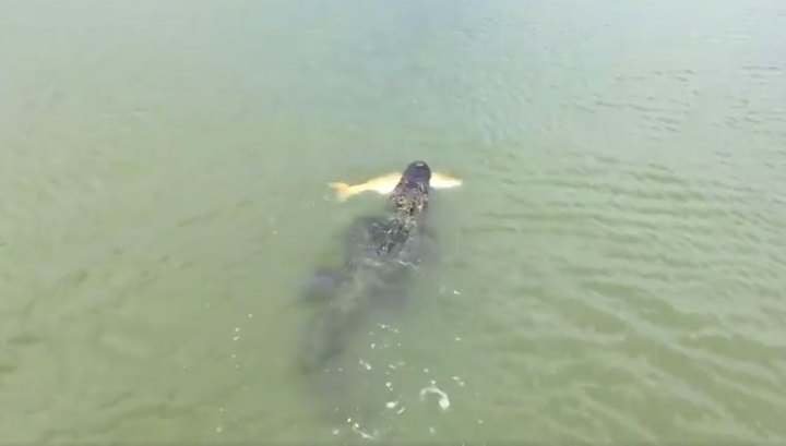 аллигатор украл улов