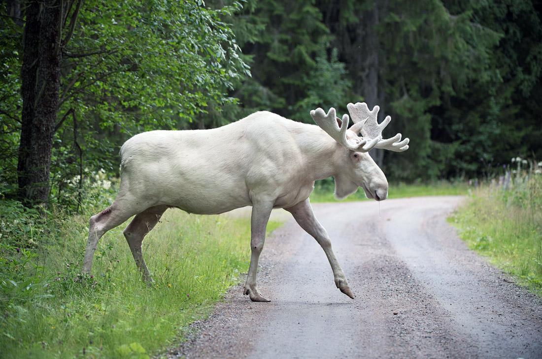 Белый лось - уникальное явление в Швеции