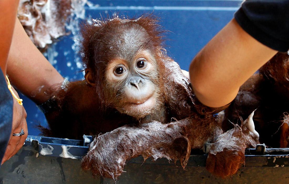 Таможенники Таиланда спасли двух детенышей орангутана