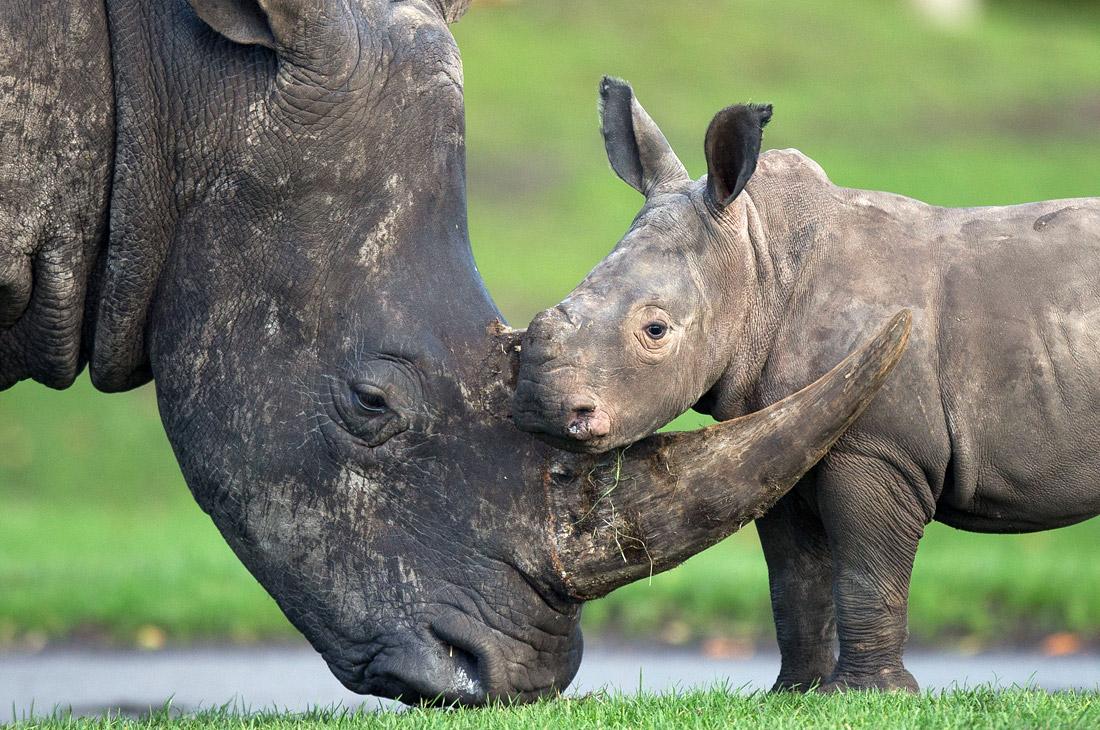 В Британском сафари парке родился носорог