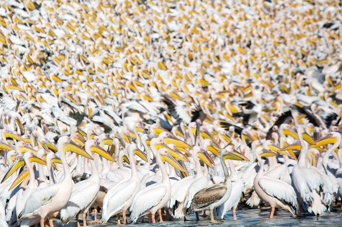 Море из пеликанов на водохранилище Мишмар-ха-Шарон