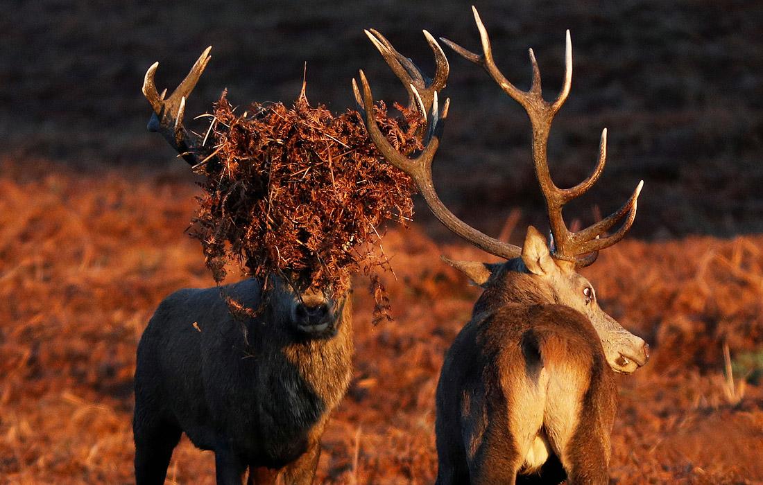 Отличная маскировка - олени в Брэдгейт-парке в Британии