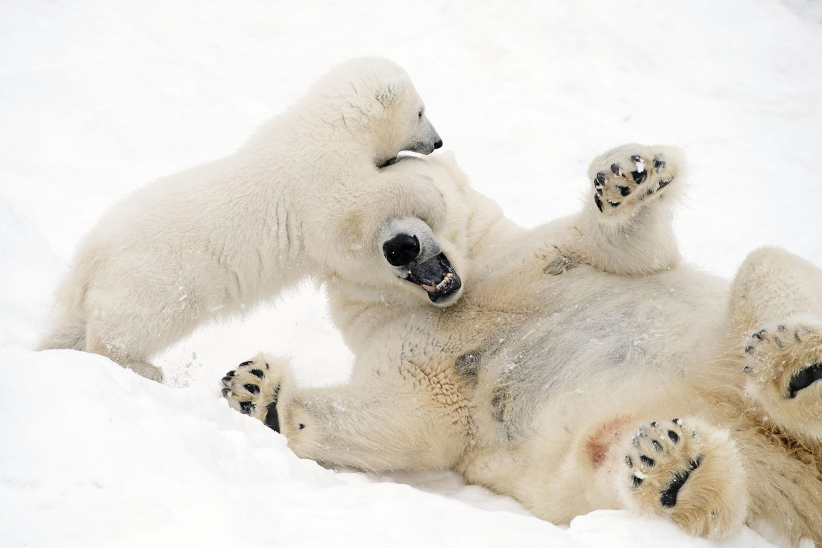 Забавные игры в снегу. Фото JOHN DANIELS / ARDEA / CATERS NEWS AGENCY