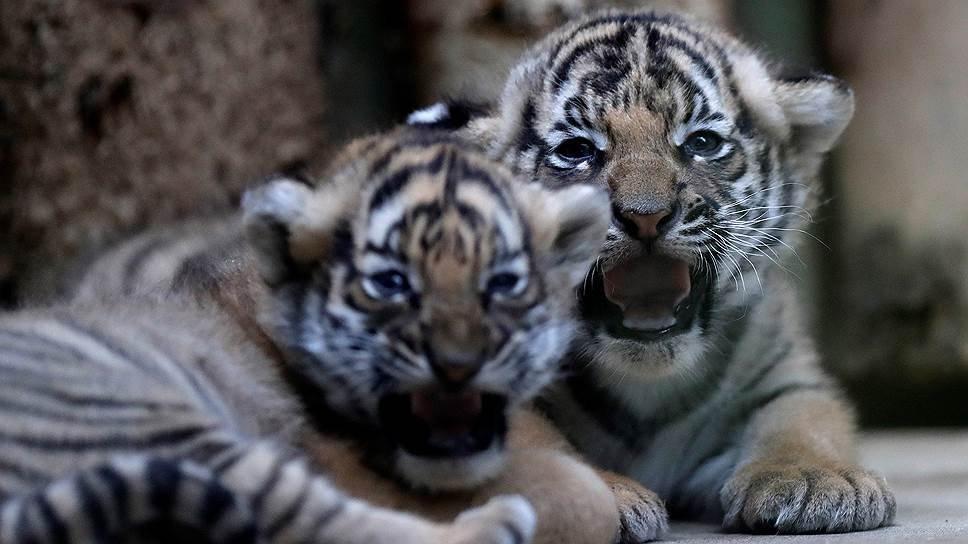 Новорожденные малайские тигрята в чешском зоопарке. Фото: Reuters / David W Cerny