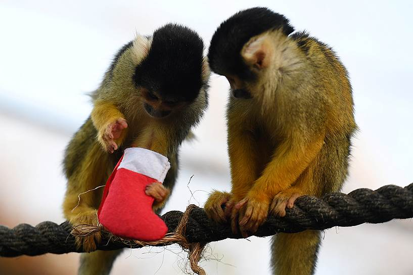 мартышкам из Лондонского зоопарка Санта Клаус уже принес подарки