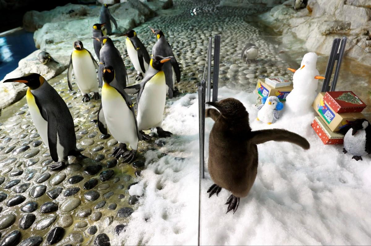 королевский пингвин родился в неволе