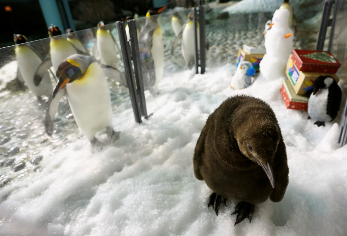 пингвин детеныш
