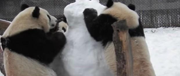 Снежная битва панд со снеговиков покоряет соцсети