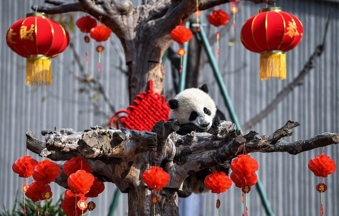 Пандановый год в заповеднике Вэньчуань-Улун